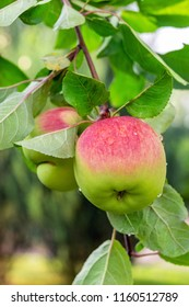Close-up organic bio red green apples growing on tree branch in orchard. Beautiful fruit garden details. Late ripening autumn pearmain
