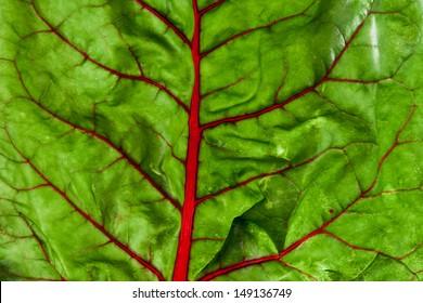 Closeup of organic red chard leaf