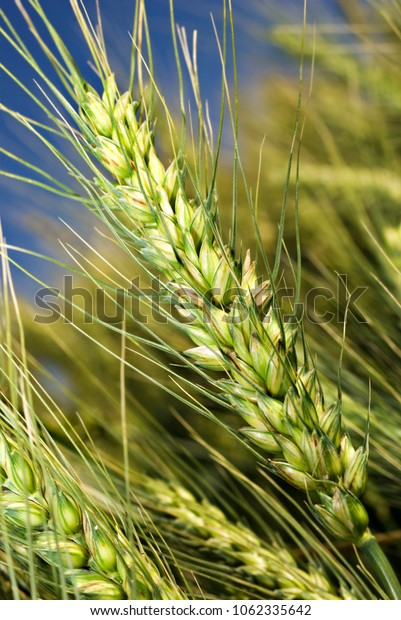 Close-up of organic wheat on the field