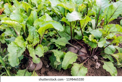 Closeup of organically grown beetroot or Beta vulgaris subsp. vulgaris plants in the  field of a Dutch arable farmer. Weeds grow between the plants and they are only removed manually and mechanically.