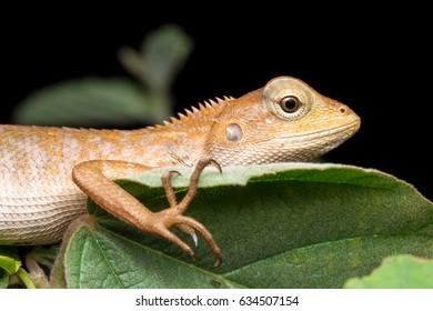 closeup of Oriental garden lizard - Calotes versicolor , Garden lizard , Changeable lizard.