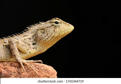 Closeup of Oriental Garden Lizard Isolated in Black Background with Copy Space, Perfect for Wallpaper