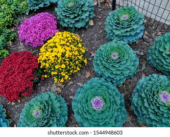 Close-up of ornamental kale plant. Cabbage with green leaves with purple flower in the middle. Plants with purple, red, and yellow flowers.