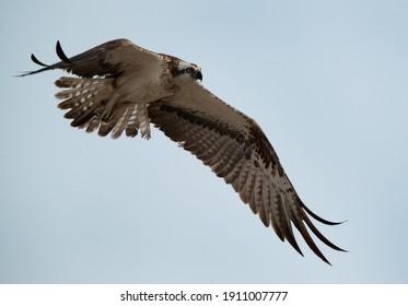 Closeup of a Osprey in flight at Hawar island of Bahrain