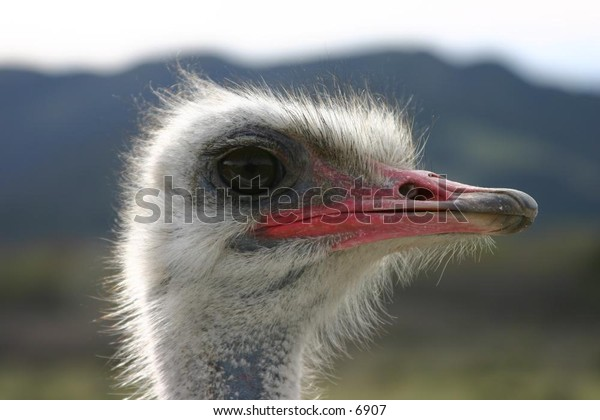 closeup of ostrich face and neck