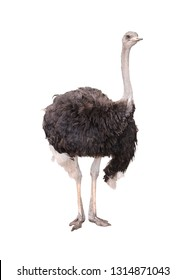 Closeup of a ostrich isolated on white background, selective focus.