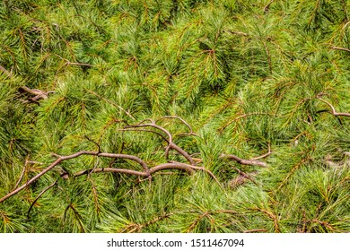 Closeup of Ottawa white pine (binomial name: Pinus strobus 'Ottawa'), also known as eastern white pine and northern white pine, with protruding branches, on a sunny day in eastern Iowa