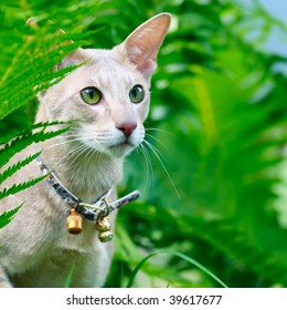 Closeup outdoor macro portrait of an oriental shorthair cat with handbell in grass