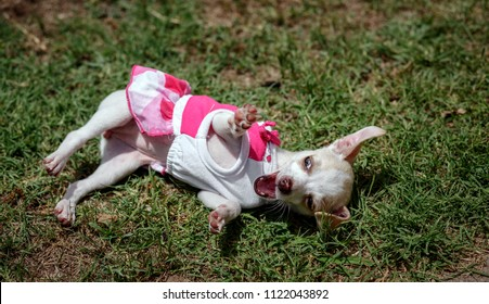Closeup overhead shot of a Chihuahua puppy wearing a dress lying on its back in the grass with front paws in the air, mouth wide open, looking as if trying to defend against an invisible attacker.