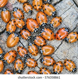 Closeup overhead shot of many colorful ladybugs (Coccinellidae) on a tree stump.
