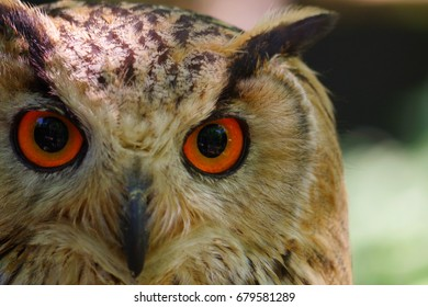 a close-up owl's face, mainly focusing on the right eye