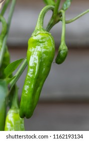 Closeup of a Padron chilli pepper growing on a plant. The peppers are popular as a Spanish tapas dish