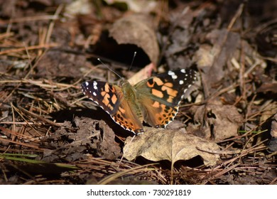 Closeup of Painted Lady Butterfly on dried leaves