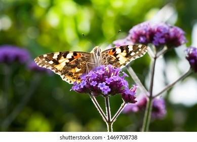 Close-up of Painted Lady (Vanessa cardui) Butterfly on purple flower, backlit.