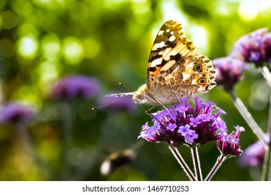 Close-up of Painted Lady (Vanessa cardui) Butterfly, on purple flower, side view backlit.