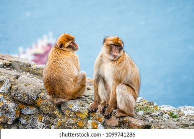 closeup of a pair of macaques in a reserve on the Gibraltar peninsula