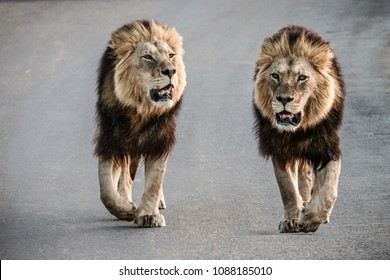 Close-up of a pair of male lions (Panthera Leo) walking next to each other on a road in the Addo Elephant National Park in South Africa