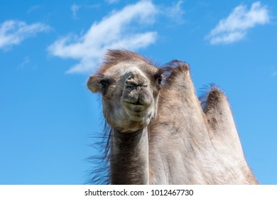 Closeup of a pale brown camel against a clear blue sky with large high standing humps on a very hot summer day