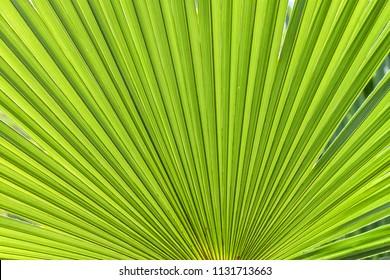 closeup palm tree leaf