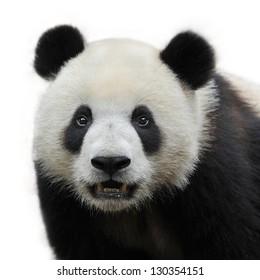 Closeup of panda bear isolated on white background