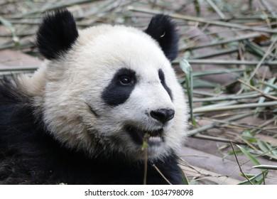Close-up Panda's Round face, Chengdu Panda Base, China