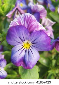 Close-up to a Pansy flower, Viola tricolor hortensis Spanish: pensamiento salvaje