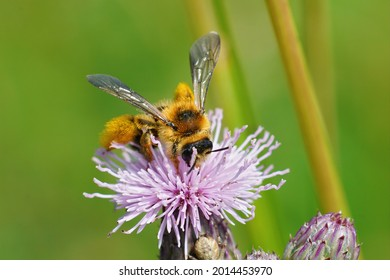 A closeup of a pantaloon bee pollinating on the pink creeping thistle