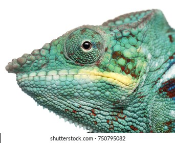 Close-up of Panther Chameleon Nosy Be, Furcifer pardalis, in front of white background