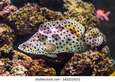 closeup of a panther grouper, white with black spotter tropical fish, exotic pet from the indo-pacific ocean