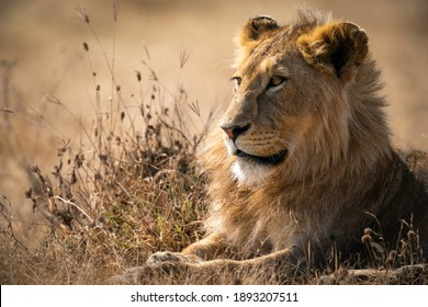 A closeup of a Panthera leo melanochaita lying on the ground under the sunlight with a blurry background