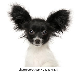 Close-up of a Papillon Continental Toy Spaniel puppy isolated on white background. Baby animal theme