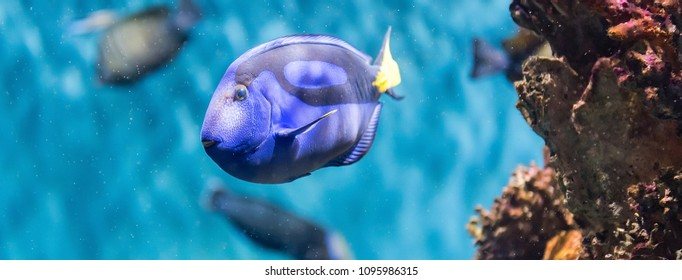 """Closeup of a Paracanthurus hepatus, a species of surgeonfish, aka regal blue tang, as seen in aquarium environment. Children use to call it """"Dory"""", due to a very popular animation movie"""