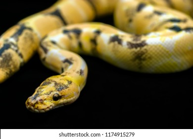 Close-up Paradox calico morph Ball python (python regius) on black floor background. Image of beautiful snake for exotic pets or reptile keeper.
