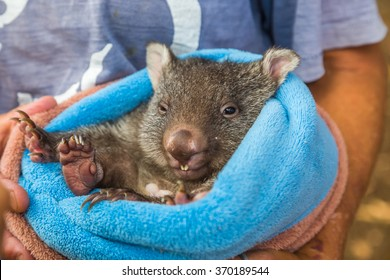 Closeup of a park attendant in her arms and a baby wombat marsupial position a few weeks, Vombatus ursinus. Trowunna Wildlife Park, Mole Creek, Tasmania, Australia.