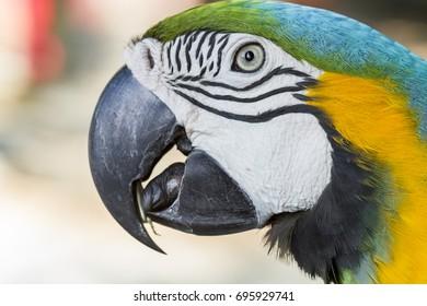 Closeup parrot bird ,blue and gold macaw