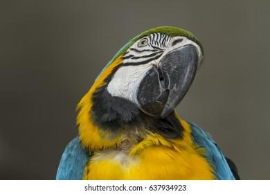 Closeup parrot bird,blue and gold macaw