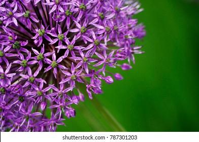 Close-up Partial Photo of Purple Allium Blossom