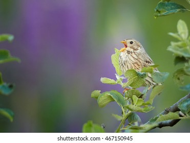 Close-up  passerine, bird Corn Bunting, Emberiza calandra, singing, perched on blue-purple lupine flowering on late spring meadow full of blossoms. Central european highland, Czech republic.