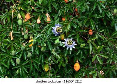 Passiflora Caerulea Images Stock Photos Vectors Shutterstock