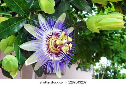 Passiflora Images Stock Photos Vectors Shutterstock