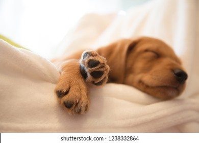Close-up of puppy's paw / Two months old vizsla mix puppy sleeping on white sheets