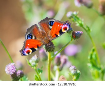 Closeup of a Peacock butterfly Inachis io feeding on purple vegetation and purple thistle flowers. Top view, detail on open wings natural light