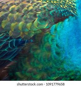 Closeup peacock feathers ,Beautiful Green peafowl