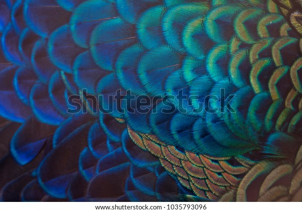 Closeup peacock feathers (Indian peafowl)