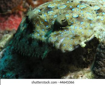closeup of peacock flounder