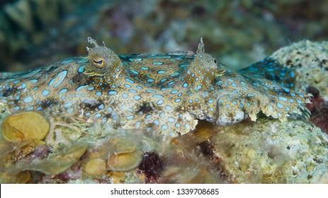 Closeup of a Peacock Flounder (Bothus mancus) - Bonaire