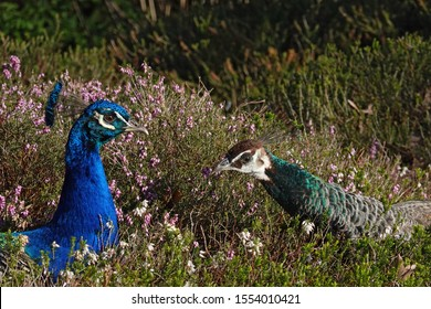 Closeup of Peafowl (Pavo cristatus). Peacock (left) and Peahen (right) lying in flowering field of heather