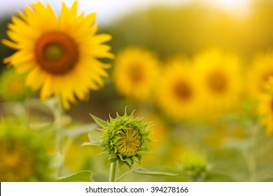 Closeup of the peak sunflower in the morning