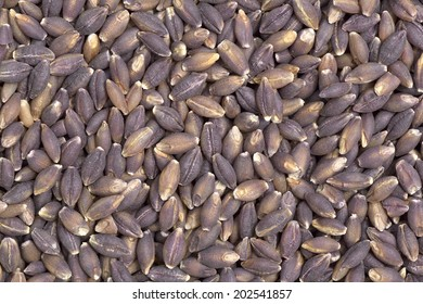 Close-up of pearl purple barley seeds  to use as background