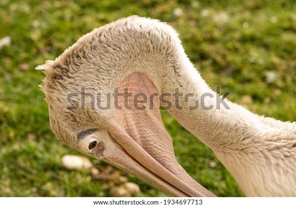 closeup-pelican-bird-looking-on-600w-193